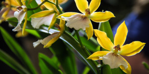 A cluster of yellow and white Oncidium orchids