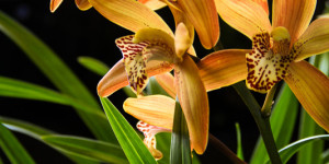 Orange glowing cymbidium orchids