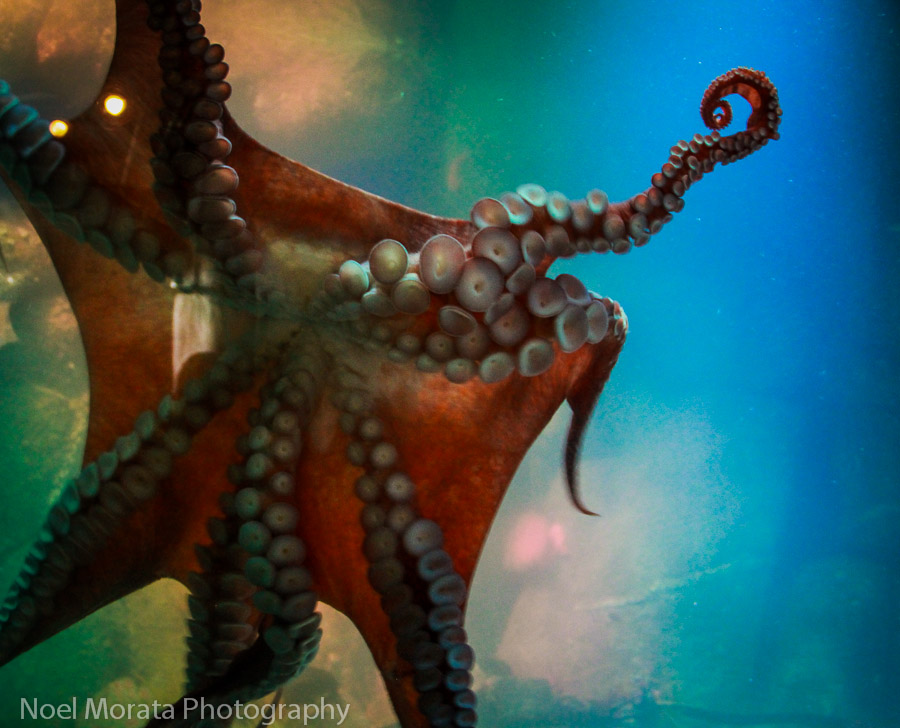 Giant Octopus at Tentacles