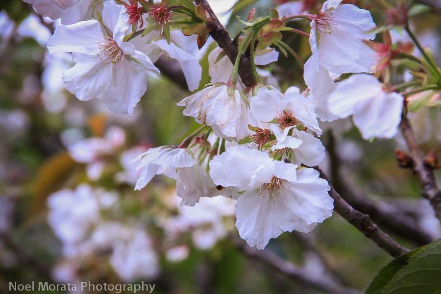 Cherry blossoms in bloom at the Japanese tea garden