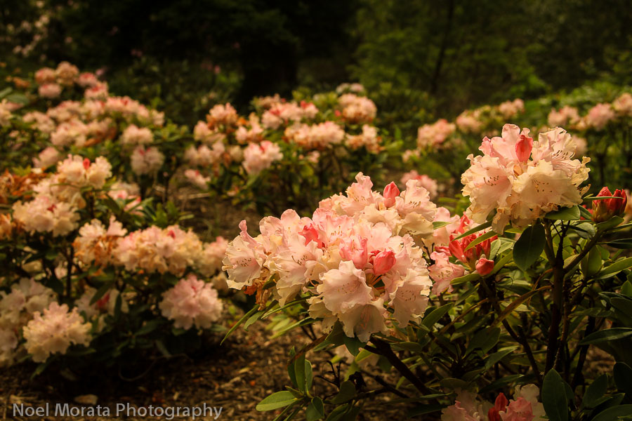 New Rhododendron plantings at Golden Gate park