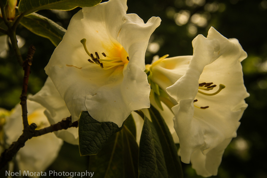Rhododendron Dell in Golden Gate Park