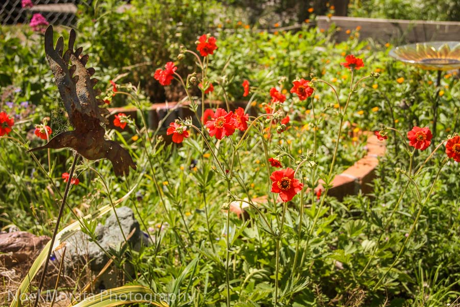 California wild flowers at the community garden in Point Reyes Station