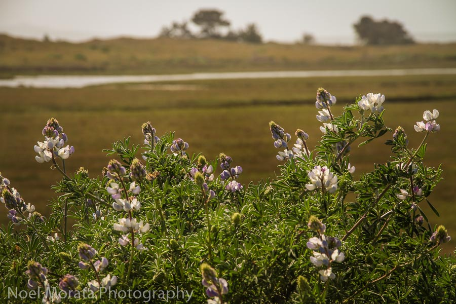 Wildflowers at the estuary at Point Reyes