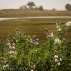 Wild flowers in bloom at the Limantour Esteros