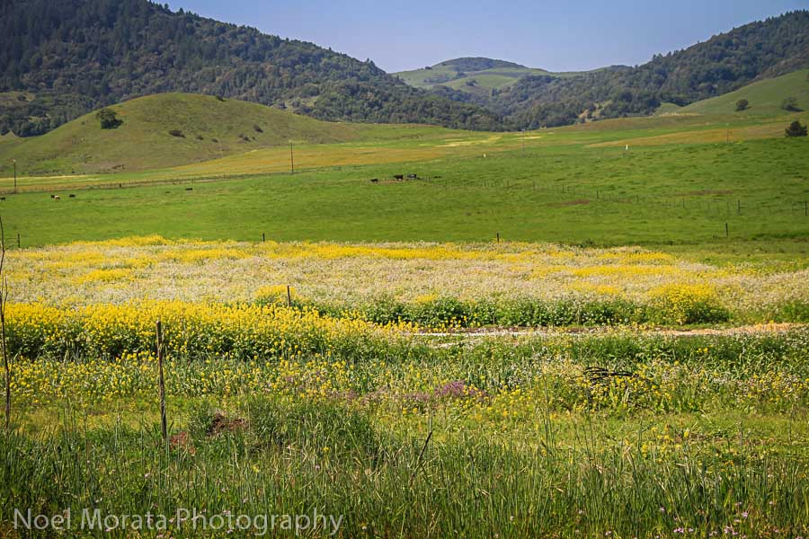 West Marin county landscape and wild flowers