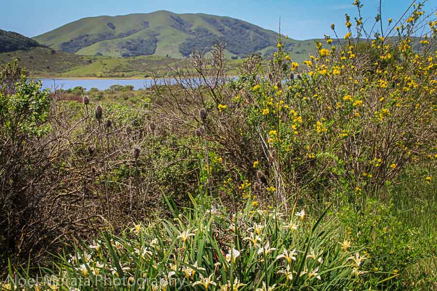 Wildflowers by the Nicasio reservoir