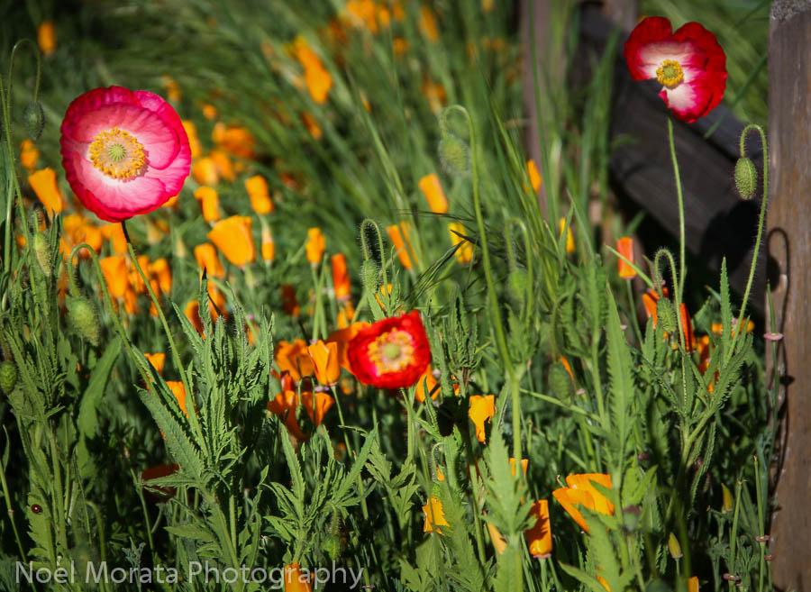 Annuals in bloom at Luther Burbank Gardens