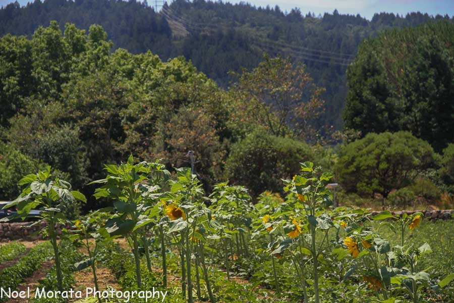 Sunflowers at St. Francis winery