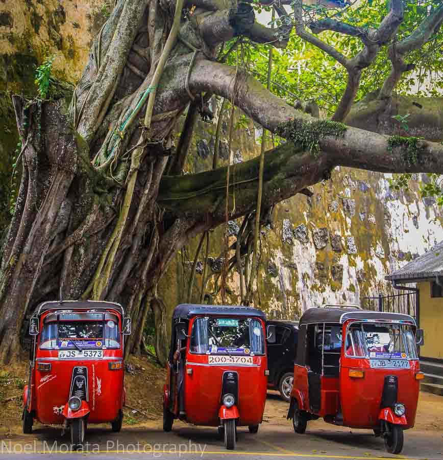 Tuk Tuks and banyan tree by Galle fort