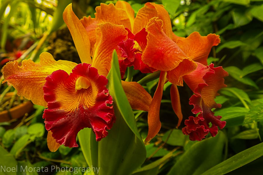Dazzling orchids at Phipps conservatory, Pittsburgh