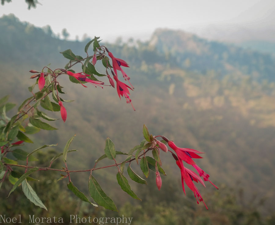 Wild fuschia at Mt. Bromo lookout point