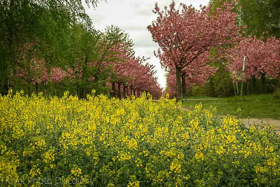Cherry Blossoms and wild mustard plants in Berlin Germany