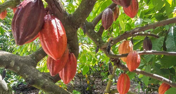 Chocolate tour in the Dominican Republic