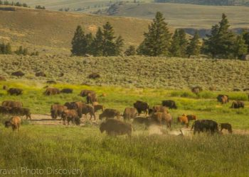 Bison herds wildlife tour at Yellowstone National Park