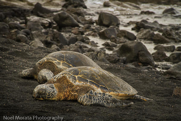 Visiting green turtles at Punalu'u on the Big Island with kids
