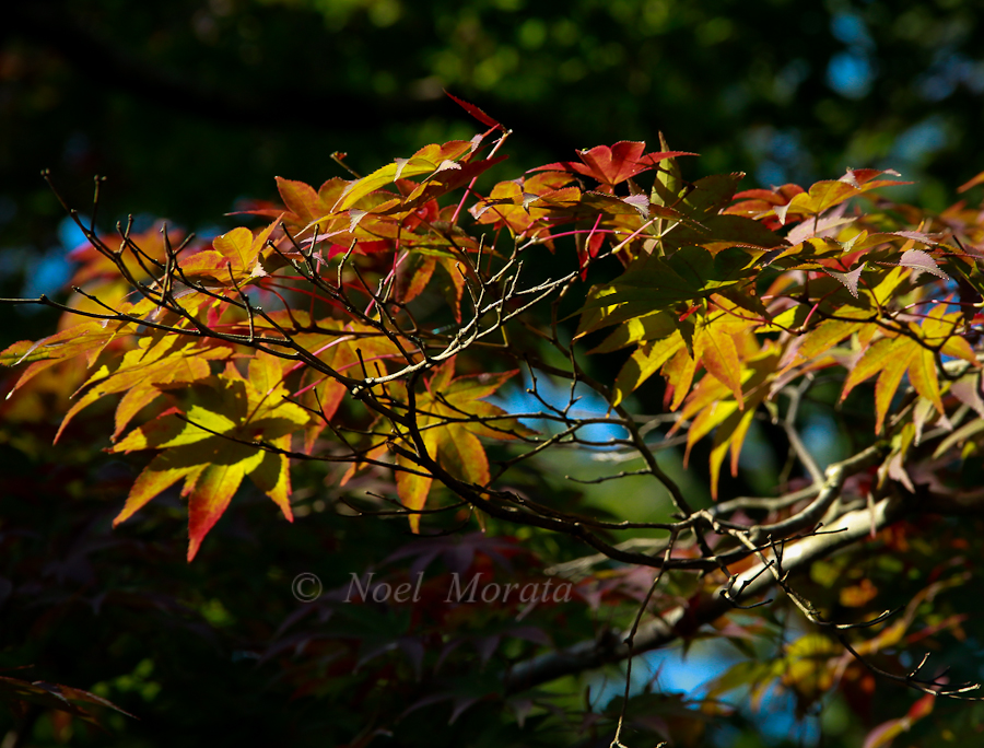 Japanese maples turning colors