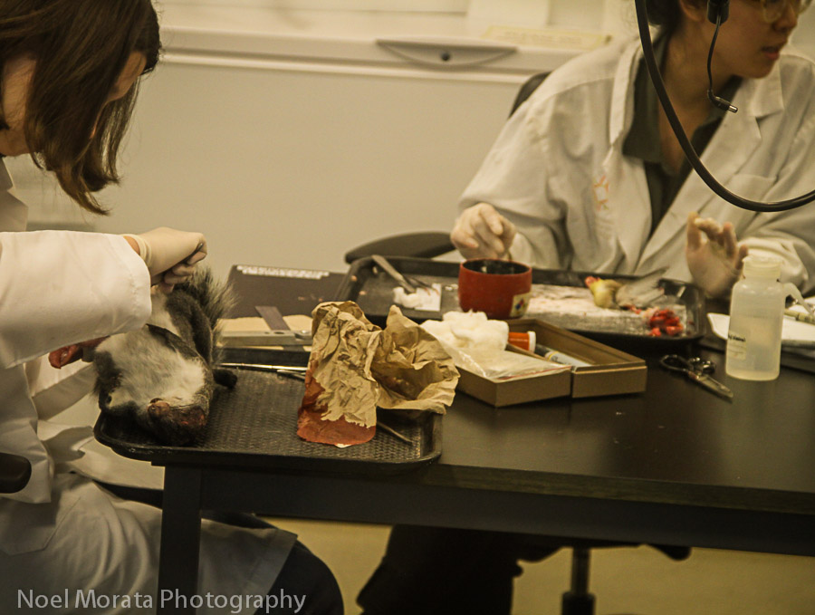 Animal dissection with scientists