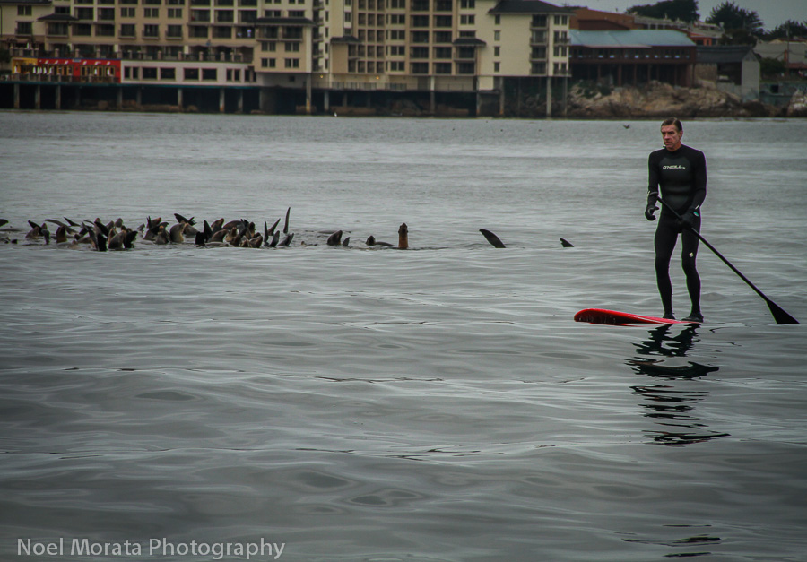 Paddling with harbor seals on Monterey Bay