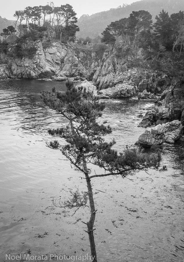 Solitary Pine at Point Lobos