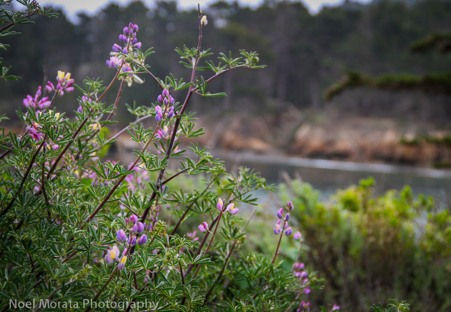 Spring flowers at Point Lobos