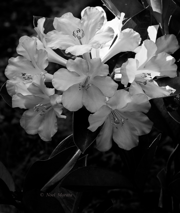 Tropical rhododendrons in black and white