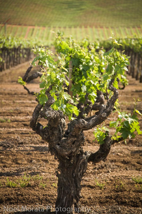 Old growth zinfandel at Dry Creek Valley