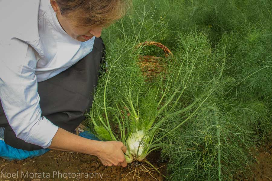 Harvesting celery root on an agriturismo farm tour in Bologna
