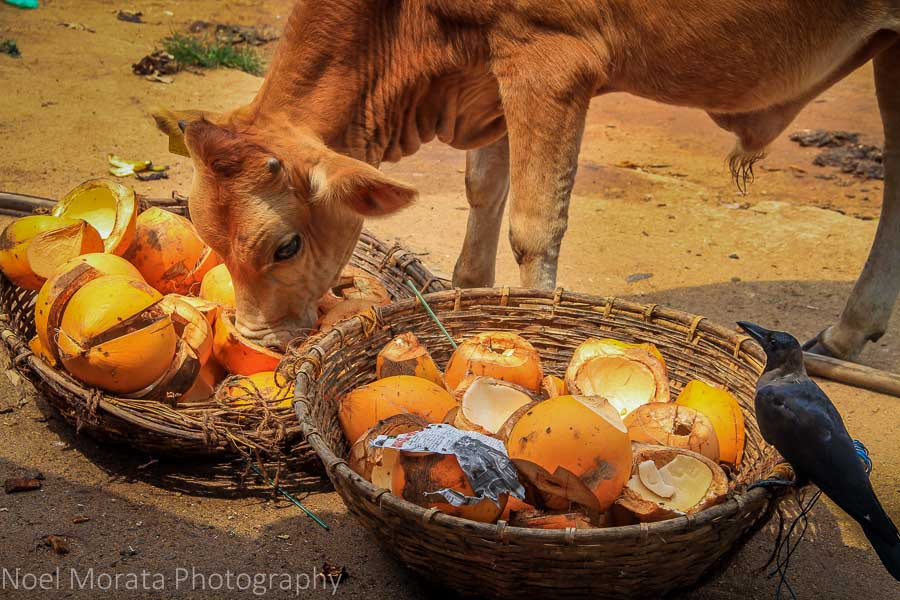 A cow and crow eating coconuts at Negombo
