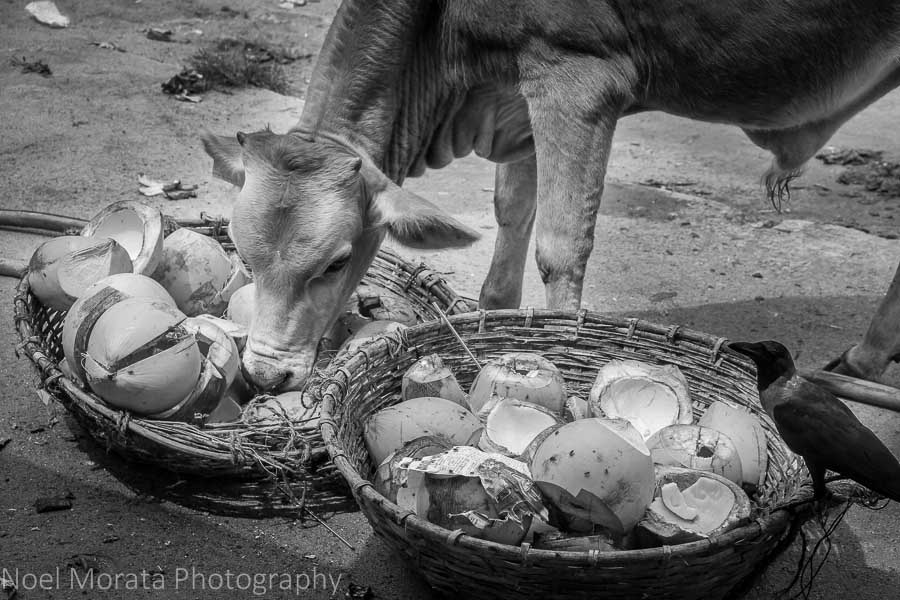 Cows and crows at Negombo fish market
