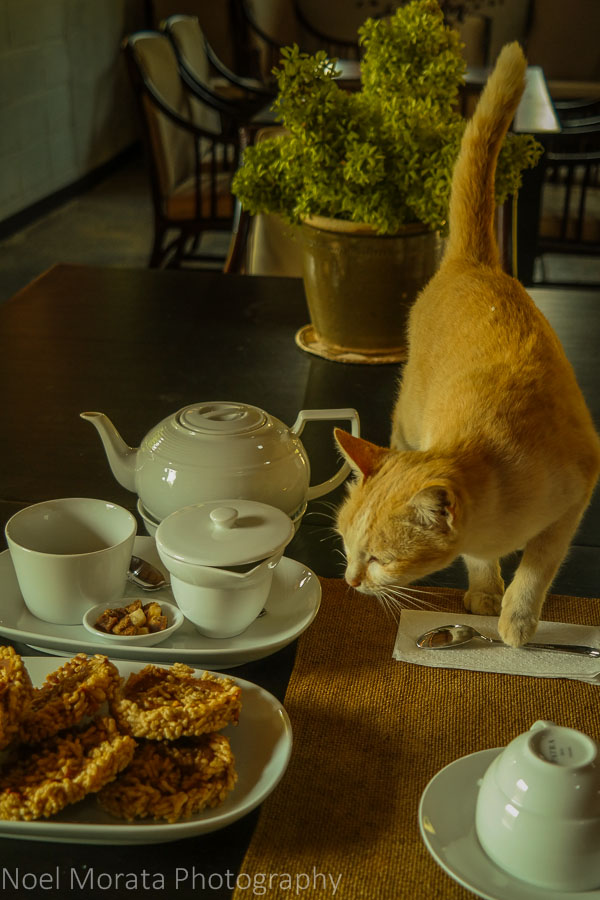 The adopted tasting room cat joins us at Araksa Tea Plantation