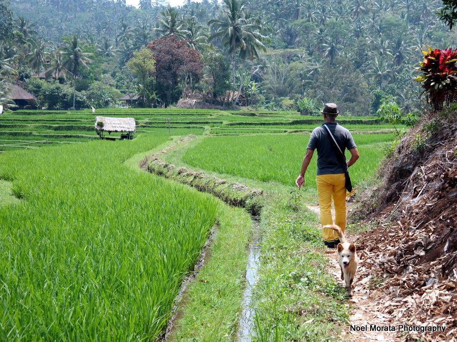Walking along the rice paddies - Alila Journeys