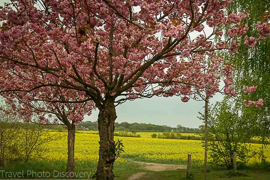 Cherry Blossom and mustard fields on the outskirts of Berlin Germany
