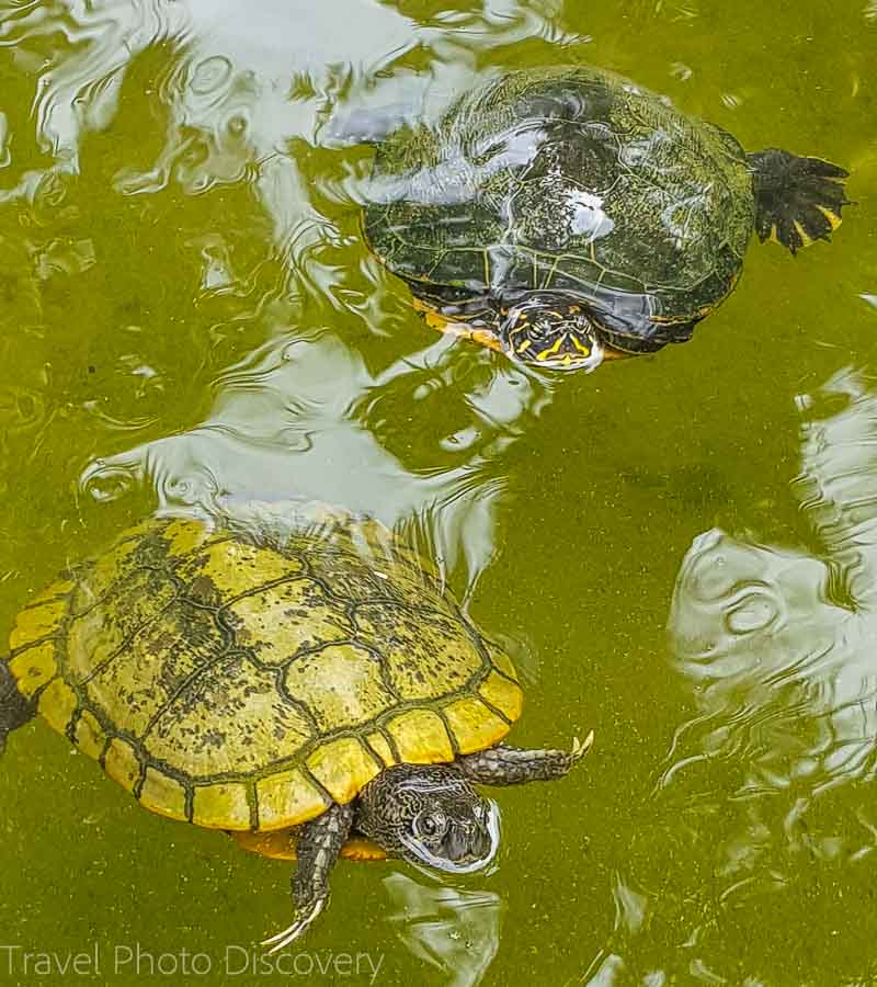 Turtles in the pond at Miami Beach Botanical Garden