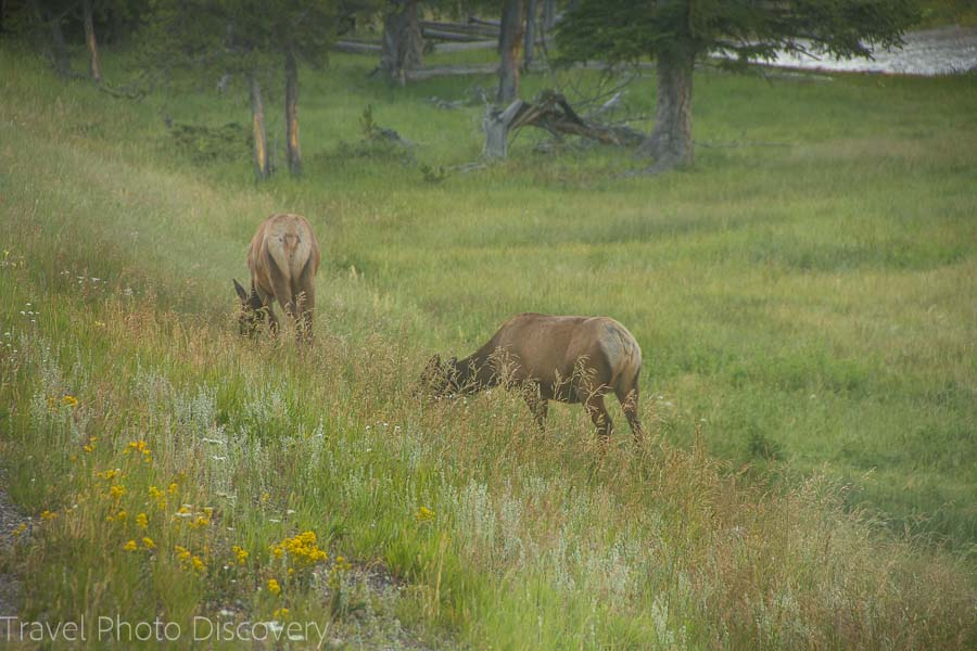 Elks grazing at Yellowstone National Park