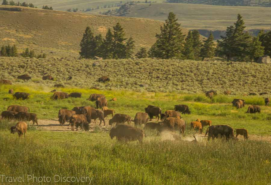 Wildlife tour at Yellowstone National Park