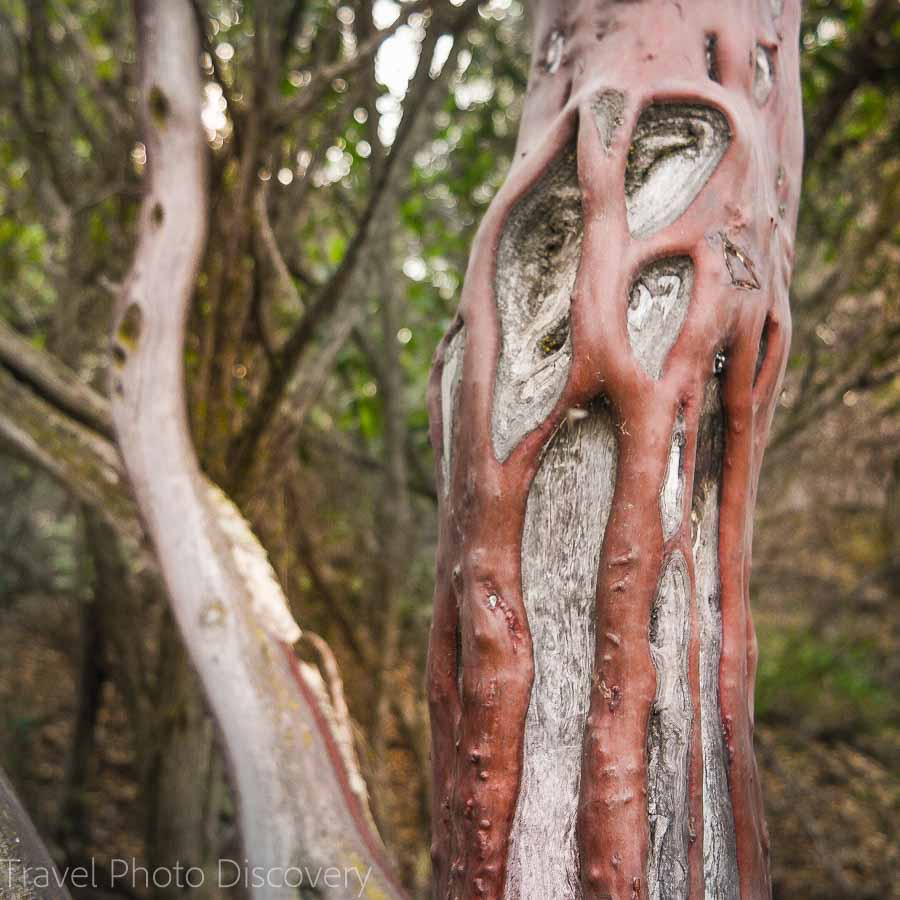 Manzanita tree bark climbing High Peaks at Pinnacles National Park