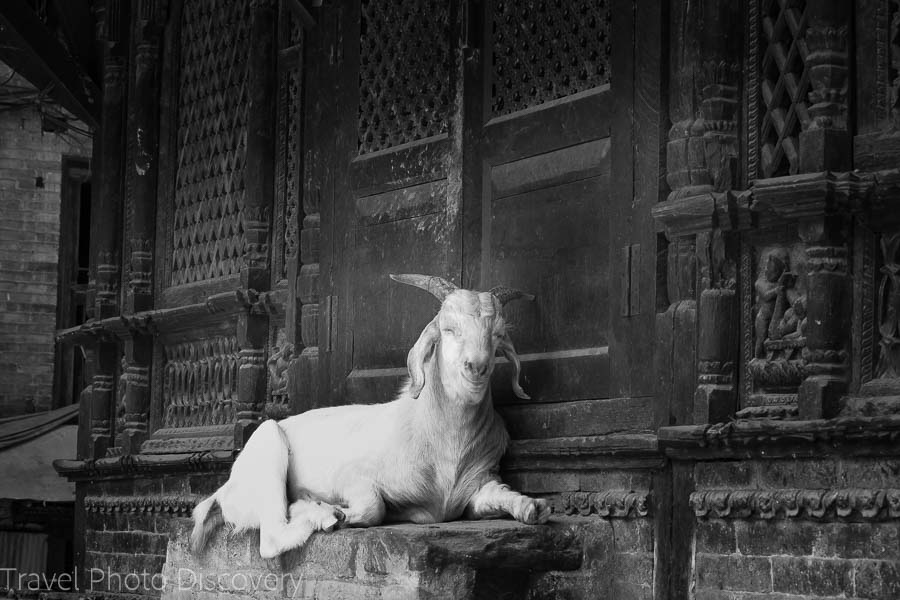 Bhaktapur street scene and goat Nepal photography in black and white