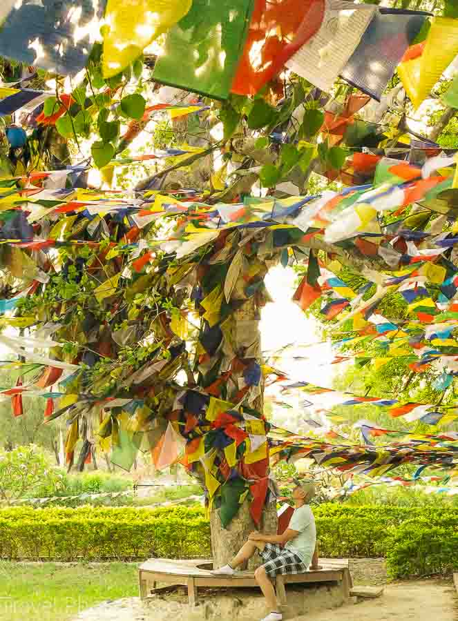 Bodhi tree at the holy site at Lumbini