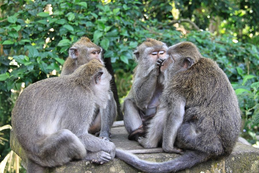 things to do in Ubud Monkey Forest in Ubud Bali