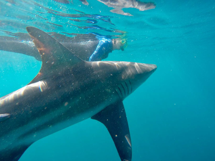 Swimming with Black tip sharks in South Africa