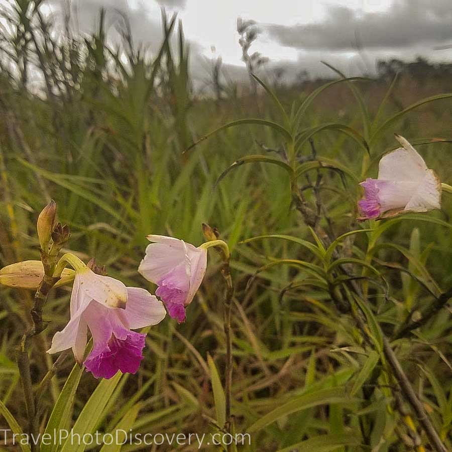 Wild orchids at Hawai'i Volcanoes National Park