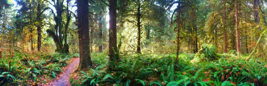 Panoramic in Hoh Rainforest Olympic National Park 2