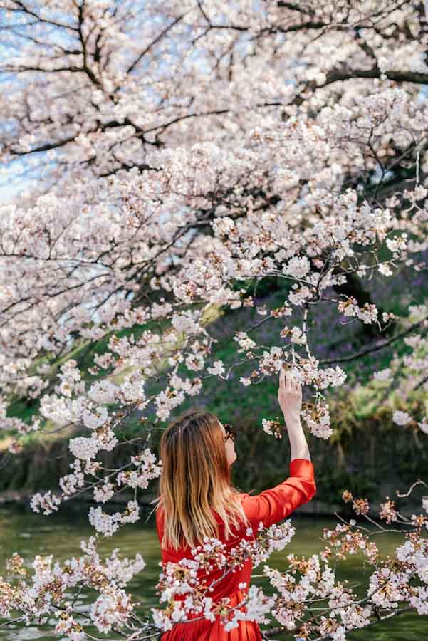 Japan cherry blossoms1