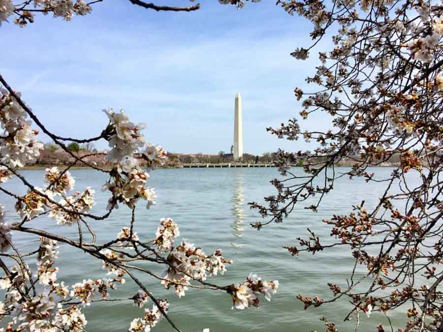 Washington Monument with cherry blossoms photo by Julie McCool F