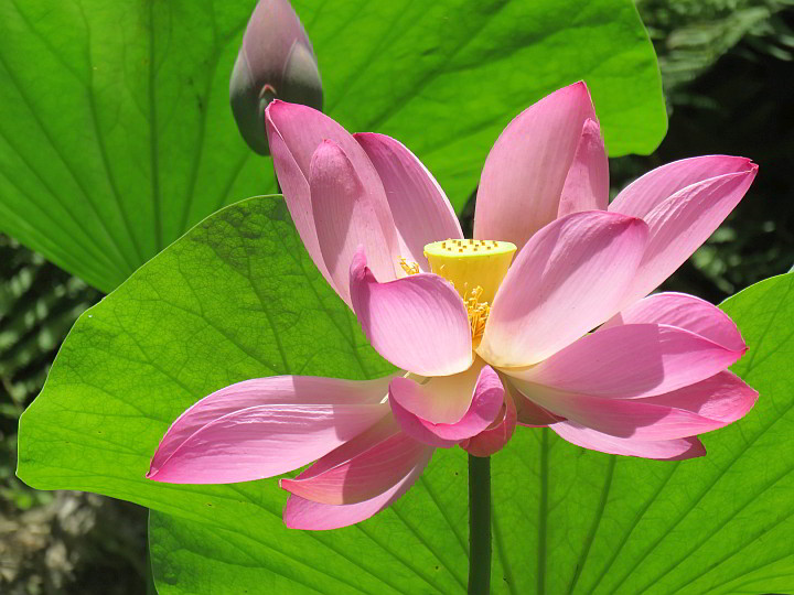 pink-lotus-flower-zilker-botanical
