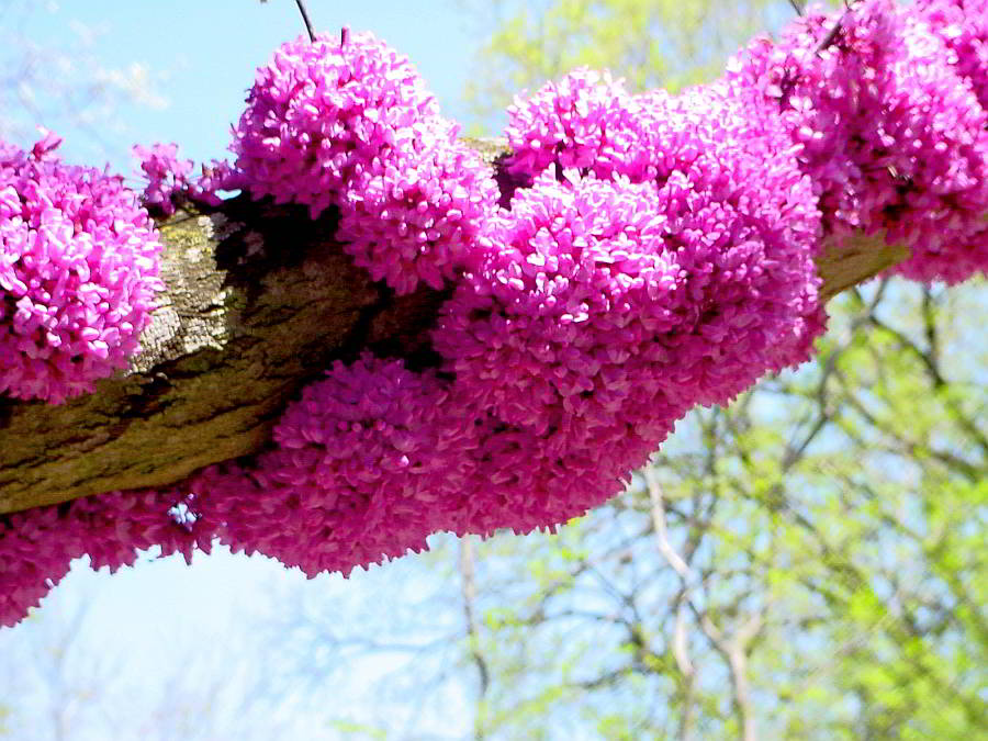 redbud-bloom-zilker-garden