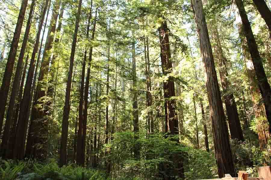 places to go in California Armstrong Redwoods Sonoma County - Sierra Schmidt (2resize) (2)