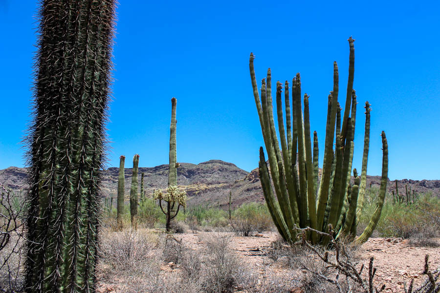 Road trip to Organ Pipe Cactus Organ Pipe NM
