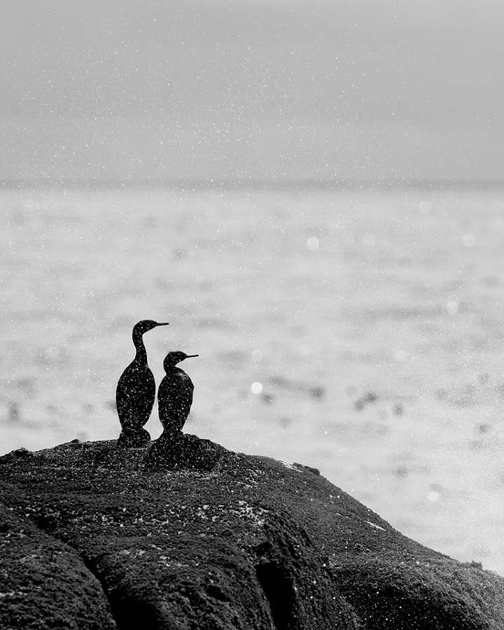 Cormorants on sea stack at Olympic National Park